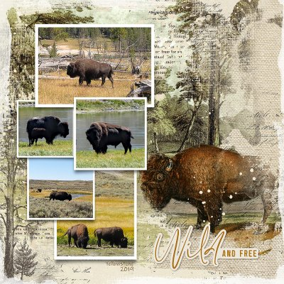 Bison - Yellowstone 2019